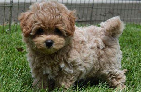 lifespan of yorkie poodle bichon shih tzu breed shihtzu wire
