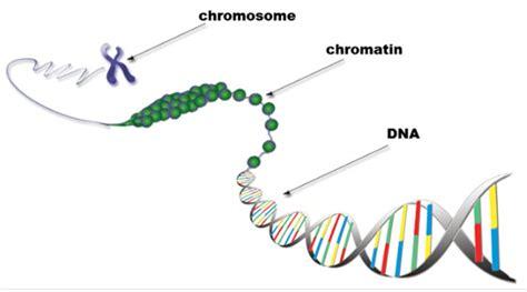 chromatin diagram chromatin