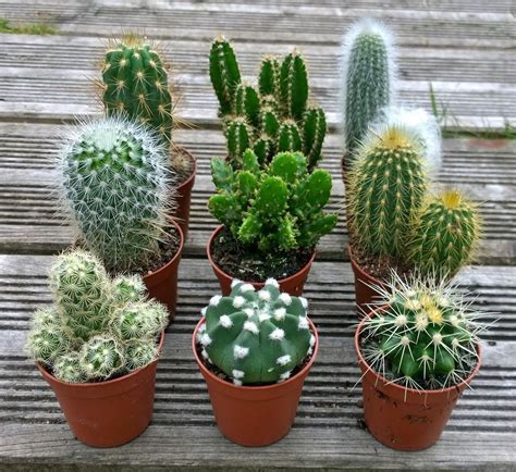 cactus planters set of 3 mixed cactus cacti plants in 5 5cm pots 163 12 95