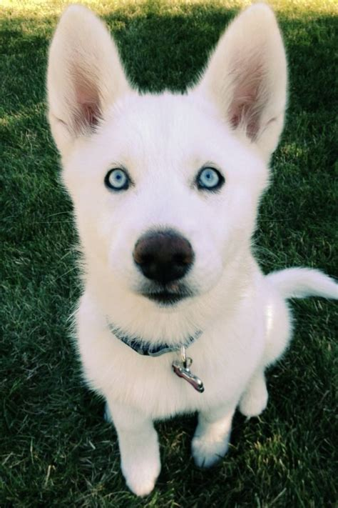 and white husky puppy 25 best ideas about white siberian husky on siberian husky puppies