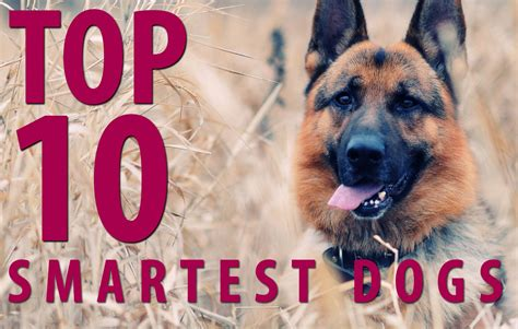 top ten smartest dogs top 10 smartest breeds most teachable trainable dogs