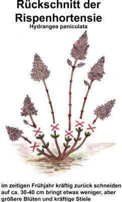hortensie schneiden wann rispenhortensie schneiden rispenhortensie pflanzen