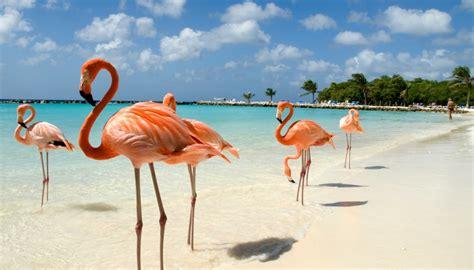 sulla spiaggia ad aruba sulla spiaggia abitata dai fenicotteri rosa