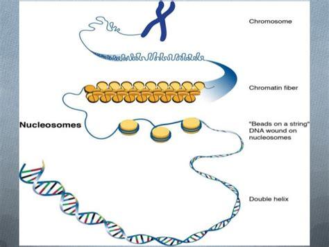 cuantas cadenas de adn tiene el ser humano genes y adn