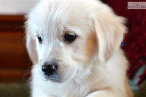 free puppies fort wayne indiana golden retriever puppy for sale in indiana breeds picture