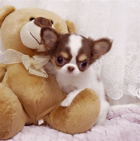 how much are chihuahua puppies chihuahua puppies photos small breed photos