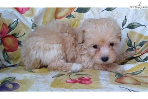 mini goldendoodles maryland goldendoodle puppy for sale near baltimore maryland