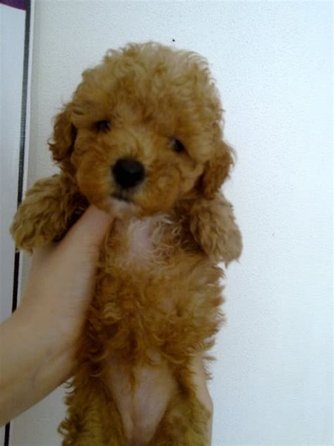 Teacup Toy Poodles for sale ? Puppies for Sale, Dogs for