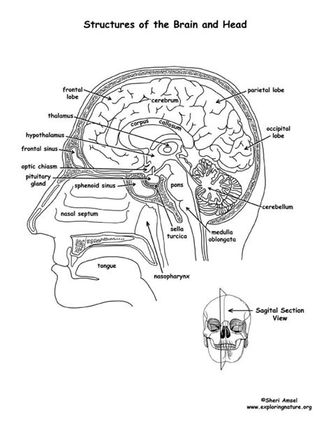 anatomy of the brain coloring book brain structures labeled coloring page