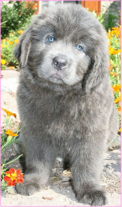 newfoundland puppies for sale in pa the world s catalog of ideas