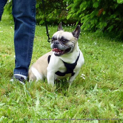 bulldog puppies for sale in oregon bulldog breeders in oregon bulldog puppies sale oregon breeds picture