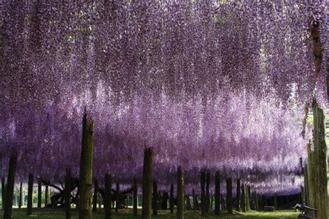 kawachi fuji garden a colorful walk wisteria tunnel at kawachi fuji gardens