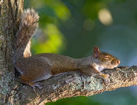 do squirrels hibernate feedingnature com