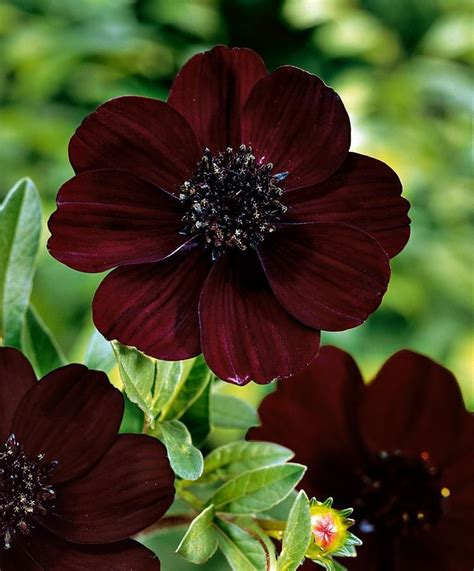 Chocolate Cosmos Great For A Fall Flower Arrangement