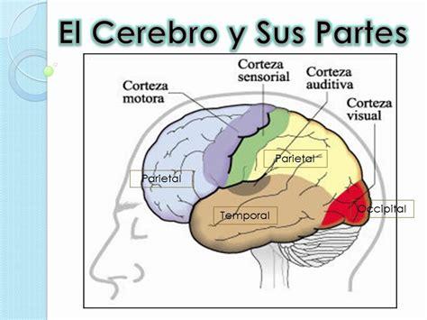 capacitor y sus partes cerebelo y funciones