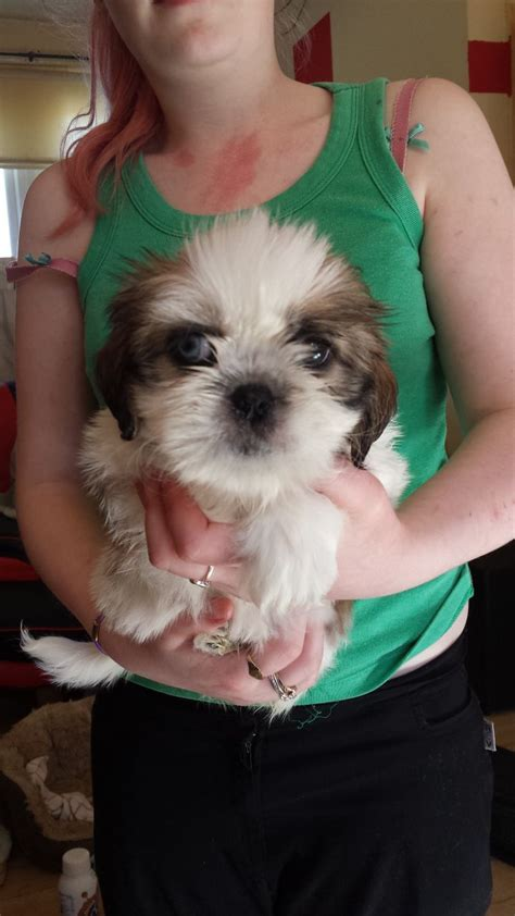 shih tzu cross pug puppies for sale shih tzu cross pug puppies sheffield south pets4homes