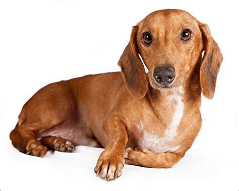 wiener puppies dachshund portrait photo and wallpaper beautiful dachshund portrait pictures