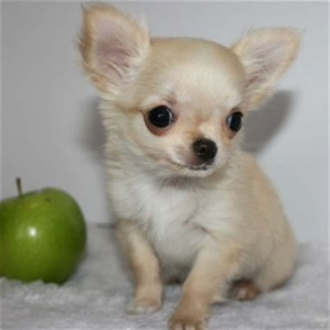 applehead chihuahua puppies deer chihuahuas vs apple chihuahuas pet it apparel