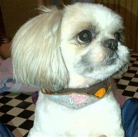shih tzu chatter two shih tzu haircuts looking for new grooming ideas for my shih tzu new haircut