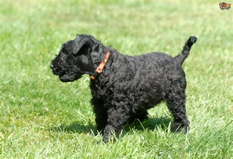 kerry blue terrier puppies kerry blue terrier breed information buying advice photos and facts pets4homes