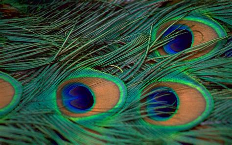peacock background wallpapers of peacock feathers hd 2017 wallpaper cave