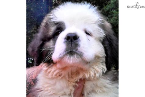 st bernard puppies for sale near me bernard st bernard for sale for 1 000 near indianapolis indiana 1e465242 9871