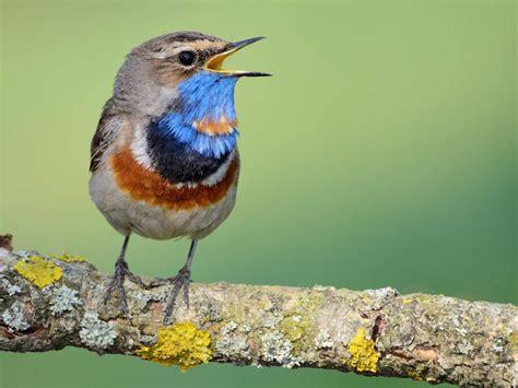 exotic birds of britain saga