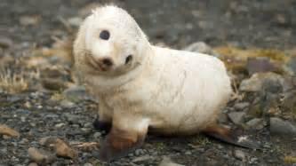 baby seal animals wallpaper 7905896 fanpop