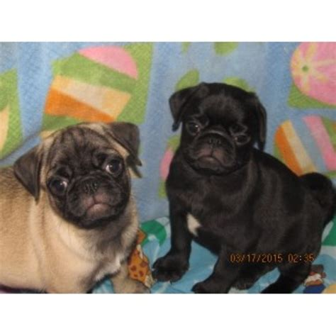 pug puppies for sale island ny walk the line pug ranch pug breeder in watertown new york listing id 23639
