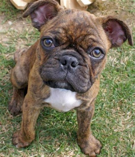 bull and pug frenchie pug frug bulldog pug mix info puppies temperament