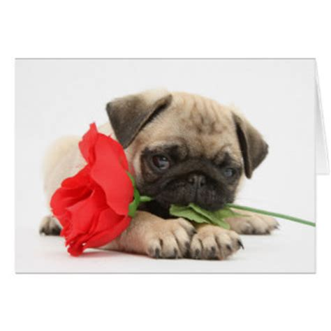 pug valentines card pug cards greeting photo cards zazzle