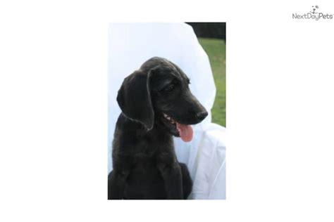 weimardoodle puppies weimardoodle puppy for sale near lancaster pennsylvania d9497c46 2571