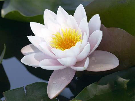 wallpaper flower lotus lotus flower wallpapers wallpaper cave