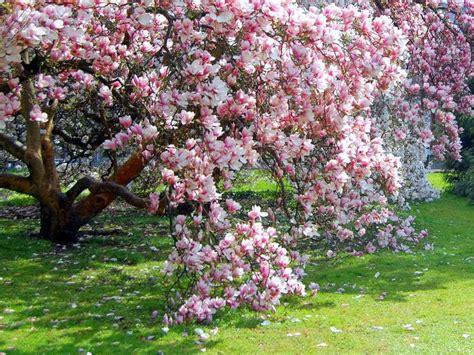 how to grow magnolia tree flowers plants gardening pinterest