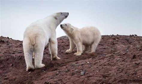 Polar Extinction Essay by Polar Bears Disaster World News Express Co Uk