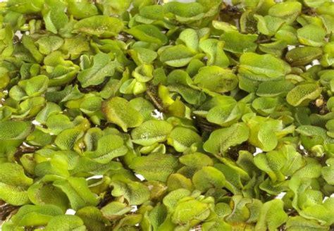 wasserpflanzen f r teich 311 wasserpflanzen f 252 r gartenteich sch nes f r den