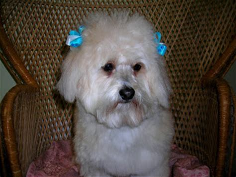 bichon frise pomeranian mix bichon frise pomeranian mix www pixshark images galleries with a bite