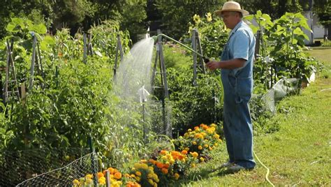 retired man watering  vegetable