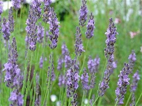 Most Fragrant Lavender Plants - lavandula x intermedia grosso quot lavender quot buy online at annie s annuals