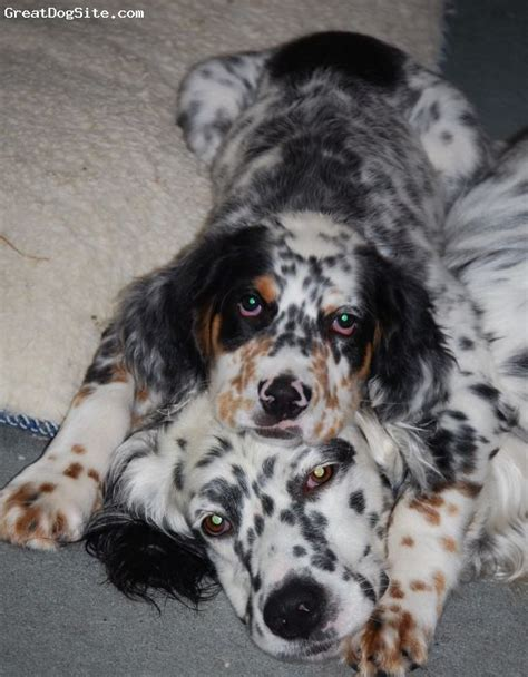 setter puppies ohio 44 best llewellin setters images on setters setter