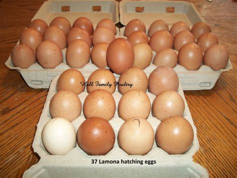 buff orpington egg color lamona chicken fanciers thread page 9