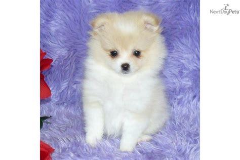 pomeranian puppy for sale near springfield missouri