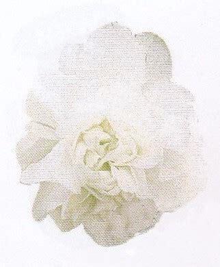 Mixing White Murah begonia series wellgrow horti trading