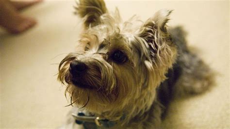 where can i adopt a yorkie where can you rescue a yorkie poo puppy reference
