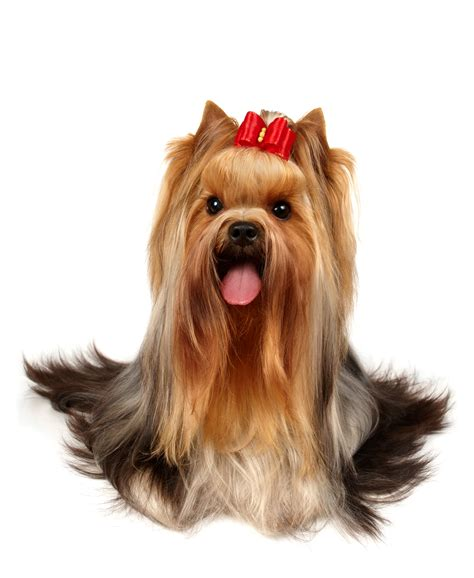 yorkie hair or fur yorkies types of fur types of yorkie hair cuts
