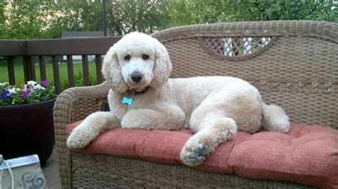 goldendoodle puppy potty 1000 ideas about standard goldendoodle on