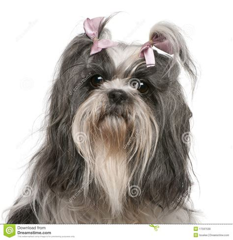 shih tzu bow shih tzu with pink bows in hair 4 years stock photo image 17597530