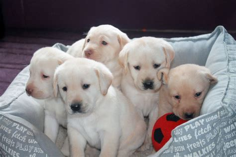 yellow lab puppies for sale in ga golden lab puppies for sale driverlayer search engine