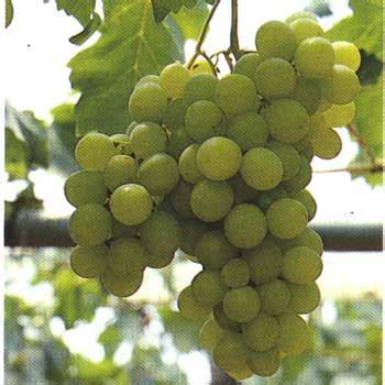 uva da tavola coltivazione coltivazione uva dei vigneti colonna porta lavatrice