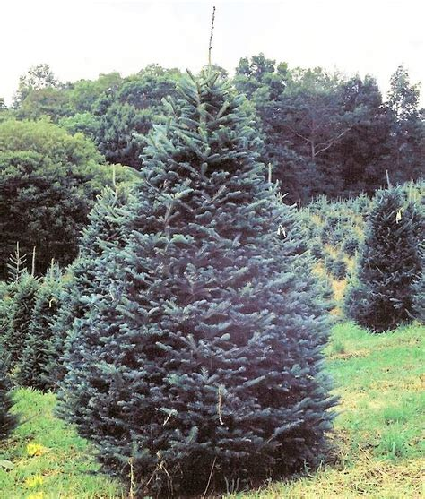 glenville nc wholesale fraser fir trees wholesale